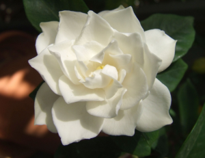 are gardenias flowers that look like roses?