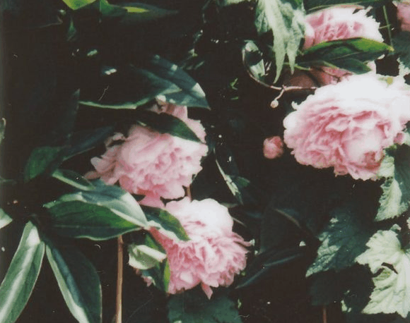 camellias are Flowers That Look Like Roses