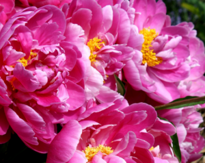 peonies are another Flower That Looks Like Roses
