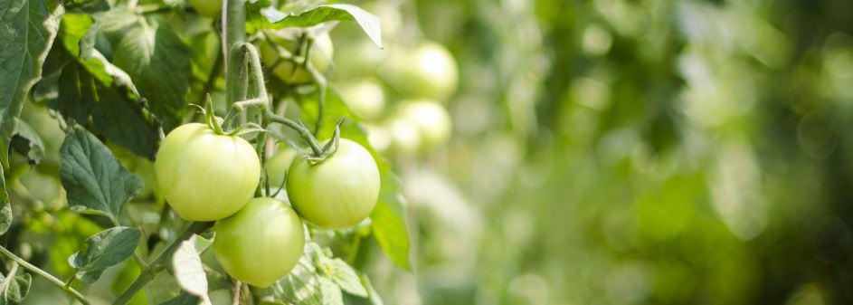 Tomato leaf natural pesticide