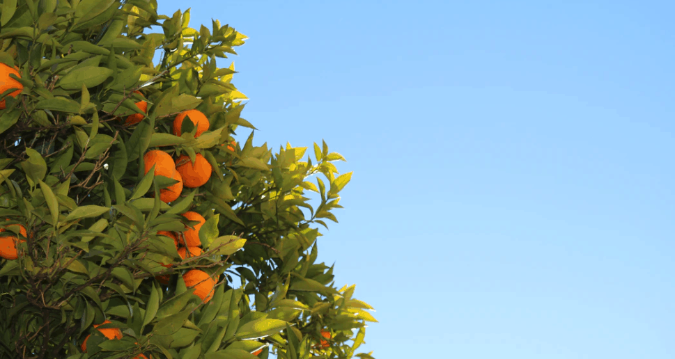 fruit trees in the suburbs
