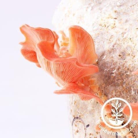 Pro-Gro Pink Oyster Mushroom Kit